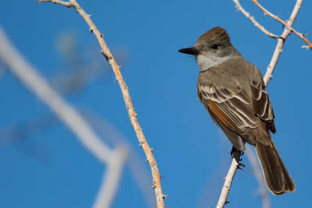 ash-throated flycatcher at Lake Pleasant, Arizona.