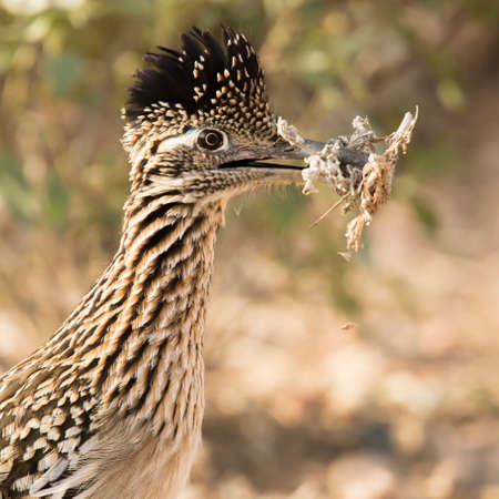 headshot of greater roadrunner with nesting material at Veterans Oasis Park in Chandler, Arizona.