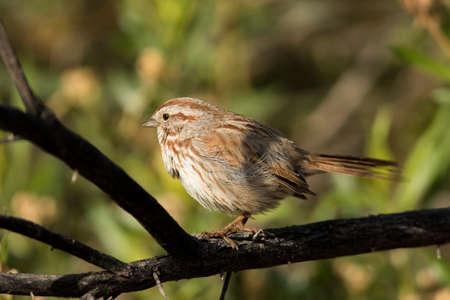 chipping sparrow at Gilbert Water Ranch, Gilbert, Arizona. Stockfoto