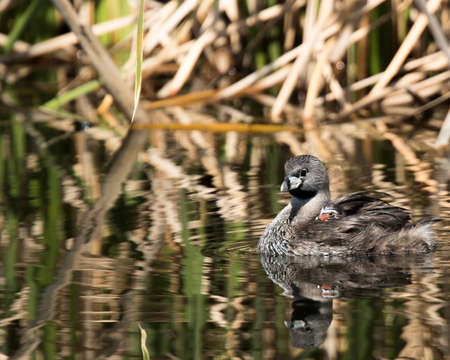 Pie-biilled grebe mother carries its young on its back for a swim Stok Fotoğraf