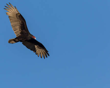 The morning sun illuminates the underside of this flying turkey vulture Stock Photo