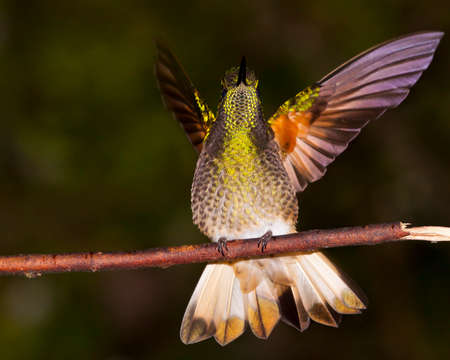 buff-tailed coronet spreads its wings Banco de Imagens