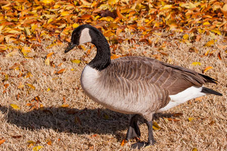 Colorful autumn leaves and brown grass provide a background for this Canada goose.
