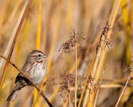 Song sparrow finds safety hiding amongst the reeds.