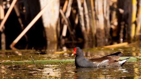common moorehen swims amongs the reeds in a marsh