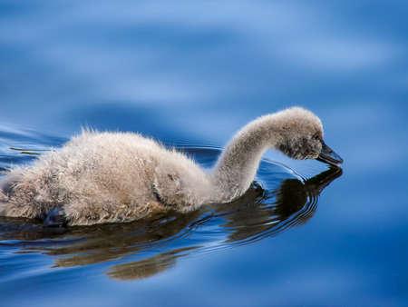 juvenile black swan wityh light grey fuzz against deep blue water