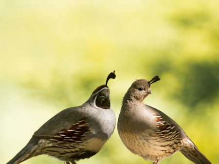 pair of Gambels quail caught in morning light against soft green bokeh.