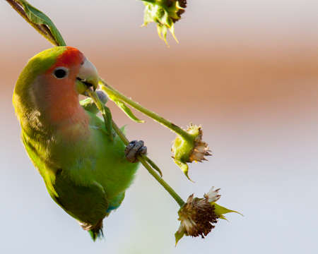 peach-faced lovebird hanging upside down in search for food Stockfoto