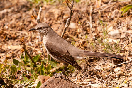 full-frame portrait of northern mockingbird with long tail