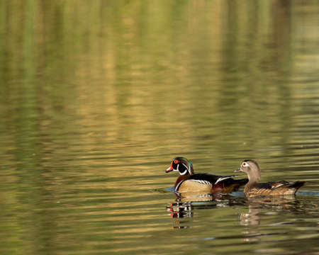 male and female wood ducks swim across pond Фото со стока
