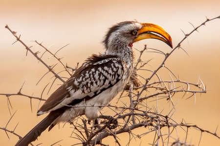 full-frame image of Monteiro's hornbill in tree Фото со стока