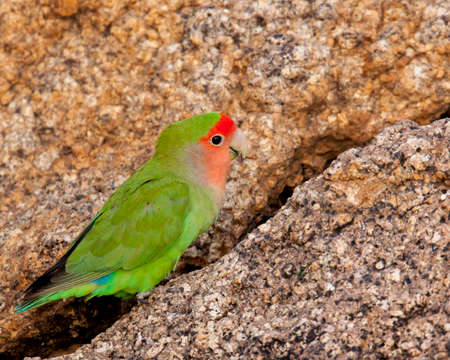 The brighty green of this rosy-faced lovebird stands out against the rocks. Stockfoto
