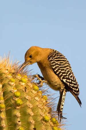 gila woodpecker pecking for food on a saguaro Stock Photo - 112486555