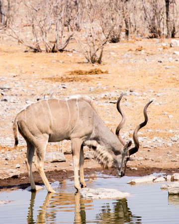 greater kudu with elegant hoirns stoops to get a drink from this watering hole Imagens