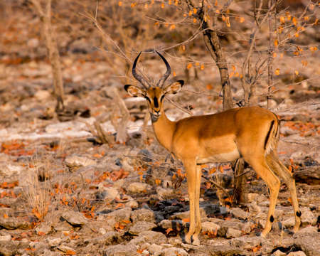 Impala is beautifully lit by the warm sun while it stares at the camera
