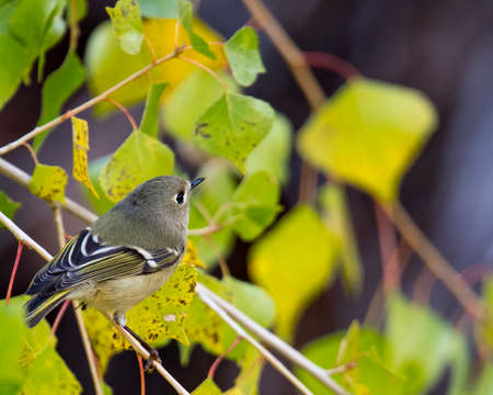 Huttons vireo is difficult to catch a good view as it continuously flits amongst the branches. Banco de Imagens