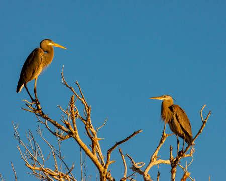 The morning sun warmly illuminates this pair of great blue herons atop a tall tree.