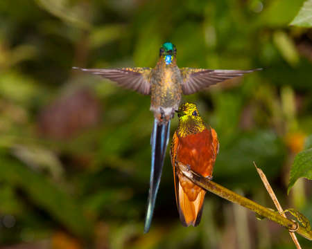 violet tailed sylph approaches perched chesnut-breasted coronet