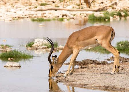 Impala drinking from watering hole in Etosha National Park, Namibia Imagens