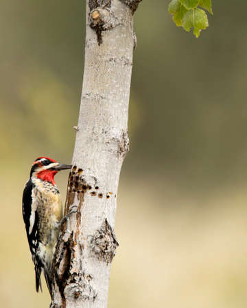red-naped sapsucker eating from sap well on Fremont cottonwood tree. Stock Photo - 112486693