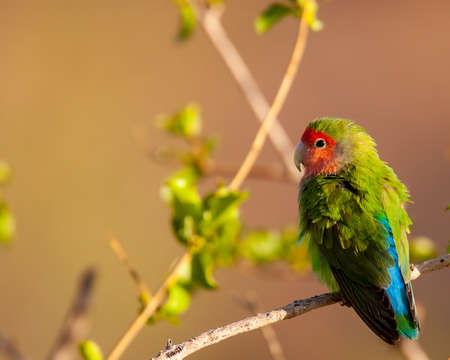 rosy-faced lovebird is lit by the warm evening sun