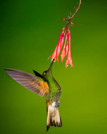 buff-tailed coronet sipping nectar at Tandayapa Lodge in Ecuador