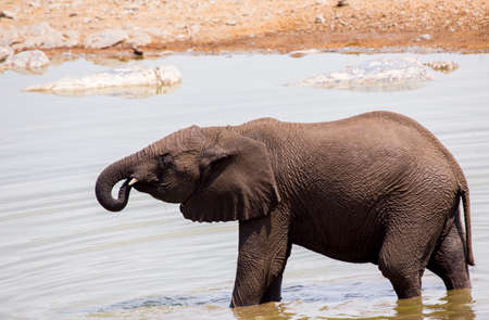 juvenile elephant drinking from watering hole Imagens