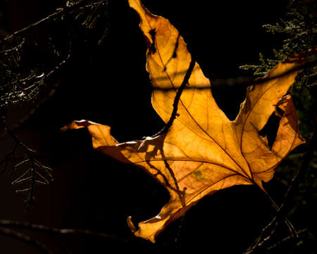 This leaf was sitting on a few branches where it had fallen and the morning sun illuminated it from above.