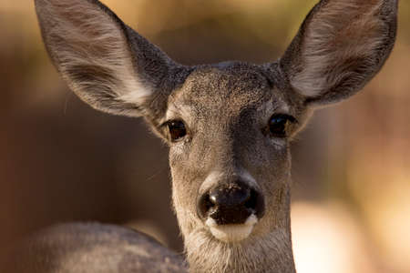 Coue's white-tailed deer is captured in warm morning sun as it it stares at the photographer Banco de Imagens