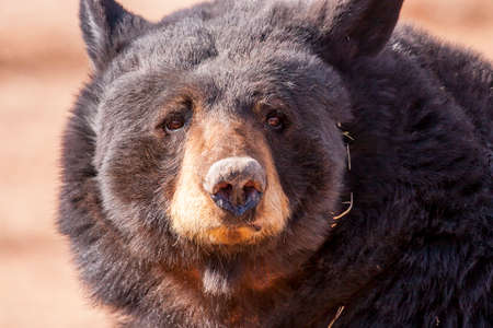 captive black bear is so close that could only get this close up.