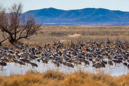 A large flock of migrating sandhill cranes resting in pond near Willcox, Arizona