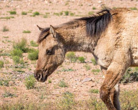 Beige quarter horse with black mane caught mid stride