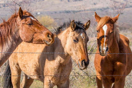 Beautiful side lighting from the early morning sun illumiates this trio of vividly colored trio of quarter horses up against a barbed wire fence 版權商用圖片