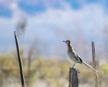 The gright blue and red stripes on this greater roadrunners face stand out against the softly blurred background as it is perched on a fencepost bordering Arizona and New Mexico Stock fotó