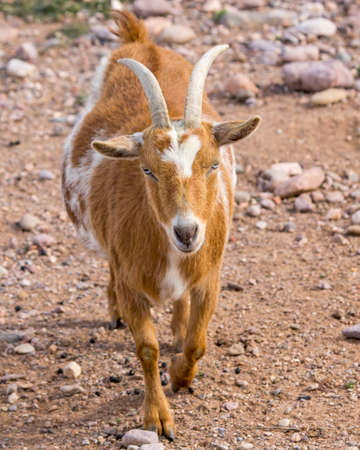 A honey and white colored Nigerain dwarf goat with horns and blue eyes caught in mid stride Stock Photo