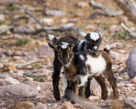 Pair of Nigerian dwarf goats with startling blue eyes and black, white and bronze coloring Фото со стока