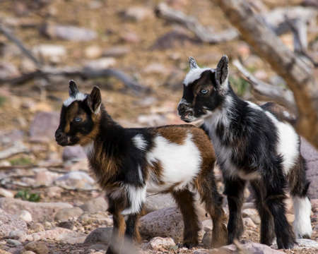 Pair of juvenile Nigerain dwarf goats with black, white & bronze coloring as well as vivid blue eyes