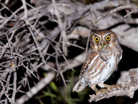 Diminutive elf owl in northern Scottsdale, Arizona with prey.