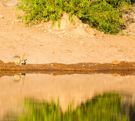 A desert cottontail heads for a drink at a pond in early morning light.