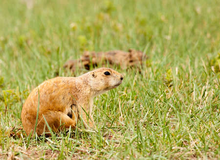 black-tailed prairie dog in Custer State Park is scratching an itch