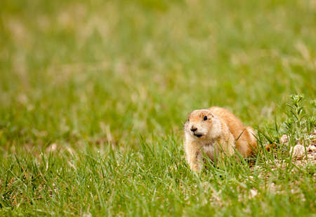 Black-tailed prairie dog in Custer State Park caught in mid-stride. 版權商用圖片