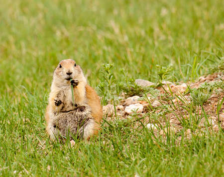 black-tailed prairie dog at Custer State Park is sitting on its haunches. Stock fotó
