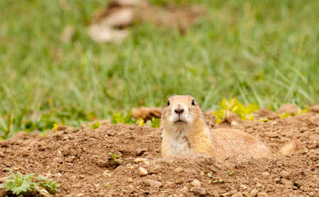 Black-tailed prairie dog staring at camera from its burrow in Custer State Park
