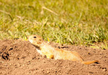 This black-tailed prairie dog in Custer State Park is checking its surroundings from its burrow entrance.