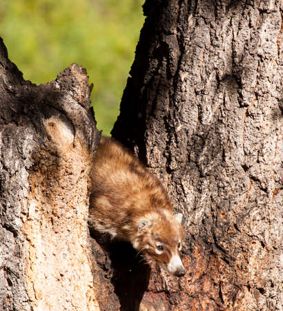 Adept climbers, this coati climbs a tree in search for food