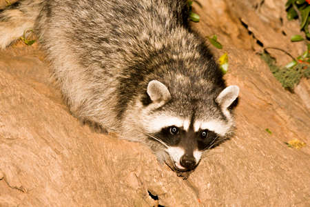 Night brings out nocturnal animals such as this raccoon to forage for food. Banco de Imagens