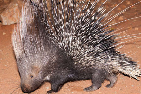 Nocturnal porcupine foraging for food in Namibia
