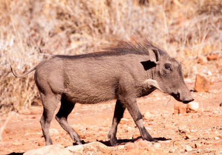 profile iew of warthog in mid-stride