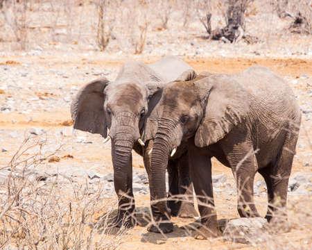 Pair of juvenile elphants in the Namibian desert