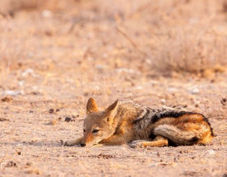 Black-backed jackal takes a break and rests
